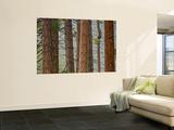 Pine Tree Trunks Wall Mural by Douglas Steakley