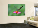Zebra Longwing (Heliconius Charitonius) Feeding on Nectar of Flower Blossom Wall Mural by Paul Kennedy