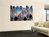 Group of Common Zebras Wall Mural by Tom Cockrem