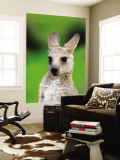 Young Kangaroo (Macropus Giganteus) at Pretty Beach Wall Mural by Paul Kennedy