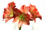 Amaryllis Photographic Print by Charles Bowman