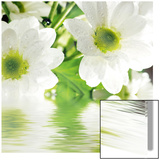 White Daisy Juliste