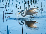 Wild Egret Fishing Horicon Marsh Wisconsin Photographic Print by Steve Gadomski