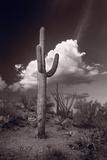 Saguaro Sunset Arizona BW Papier Photo par Steve Gadomski