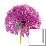 Purple Allium I Prints