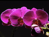 Red Orchids Photographic Print by George Oze