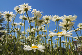 Daisies Photographic Print by Charles Bowman