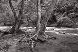 Maple Trees In Pigeon Forge River BW Photographic Print by Steve Gadomski