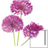 Purple Allium II Posters