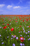 Poppy Field Uk Photographic Print by Charles Bowman