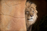 Lion Emerging-captive Photographic Print by Steve Gadomski