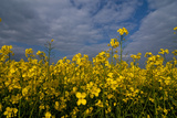 Rape Field Flowers Photographic Print by Charles Bowman