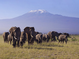 Kilimanjaro Elephants Lmina fotogrfica por Charles Bowman
