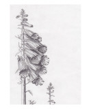 Foxglove Giclee Print by Janel Bragg