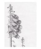 Foxglove Giclee Print by Janel Bragg