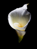 Luminous Calla Lily Photographic Print by George Oze