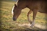 Horse Pawing In Pasture Impressão fotográfica por Steve Gadomski