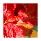 Wilting Hibiscus Photographic Print by Ruth Palmer