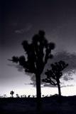Joshua Tree Silhouettes BW Photographic Print by Steve Gadomski