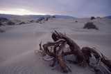 Death Valley Tree, California Photographic Print by George Oze