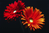 Two Luminous Daises Photographic Print by George Oze