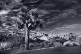 Joshua Tree Sunrise BW Photographic Print by Steve Gadomski
