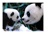 Pandas Posters