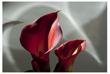 Zantedeschia - Red Photographic Print by Charles Bowman