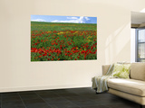 Naturalized Corn Poppies, Cache Valley, Utah, USA Wall Mural by Scott T. Smith