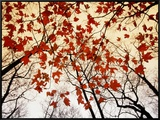 Bare Branches and Red Maple Leaves Growing Alongside the Highway Framed Canvas Print by Raymond Gehman