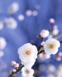 Cerisier en Fleur, Japon Poster