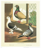 Cassell's Pigeon Book I Prints