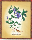 Vinca Minor Affiches par Urpina