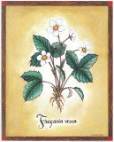 Fragaria Vesca Prints by Urpina