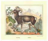 Moufflon Prints by Joachim Scholz