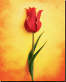 Tulip III Stretched Canvas Print by Christine Zalewski