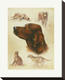Irish Setter Stretched Canvas Print by Libero Patrignani