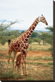 Giraffe and Baby Stretched Canvas Print