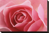 Rose Pink I Stretched Canvas Print by Danny Burk