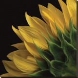 Sunflower VI Stretched Canvas Print by Danny Burk