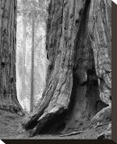 Sequoia Trunks and Beams II Stretched Canvas Print by Danny Burk