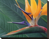 Strelitzia II Stretched Canvas Print by Danny Burk