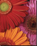 Gerbera Trio Stretched Canvas Print by Danny Burk