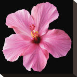Pink Hibiscus Stretched Canvas Print by Christine Zalewski