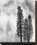 Yosemite Misty Pines Black and White Stretched Canvas Print by Danny Burk