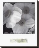Narcissi for the Wedding I Stretched Canvas Print by Richard Sutton