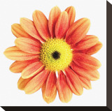 Orange Gerbera Stretched Canvas Print by Christine Zalewski