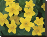 Marsh Marigolds Stretched Canvas Print by Danny Burk