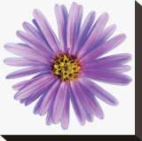 Purple Daisy Stretched Canvas Print by Christine Zalewski