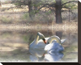 Wintering Swans Stretched Canvas Print by Stephanie Laird